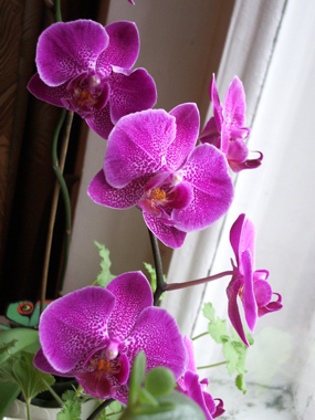 болезни комнатных растений фиалка фото