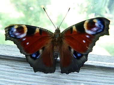 Насекомые, каталог насекомых московской области, бабочки, жуки, пауки, цветоводство, каталог садовых растений